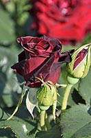 rose Black Baccara